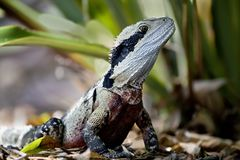 In Australia, a great reptile, an iguana from the lizard family stock images