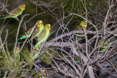 Australia green parrot at sunset Royalty Free Stock Images