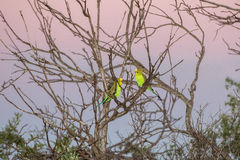 Australia green parrot at sunset Royalty Free Stock Image
