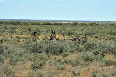 Australia, NSW, Zoology. Australia, group of Emu birds in Australians outback Stock Photos