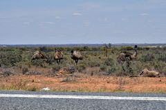 Australia, NSW, Zoology. Australia, group of emu birds in Australians outback and dead kangaroo on roadside Royalty Free Stock Images