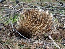 Australia, isla del canguro, echidna imágenes de archivo libres de regalías