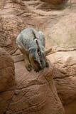 Australia kangaroo Royalty Free Stock Photo