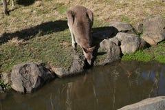 Kangaroo drinking water in Australian zoo royalty free stock photography