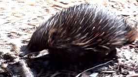 Australia, kangaroo island, excursion in the outback, close up view of a echidna walking stock footage