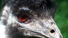 Australia, kangaroo island, excursion in the outback,  emus stock video footage