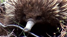 Australia, kangaroo island, excursion in the outback, close up view of a shy echidna. Intent, in the undergrowth, to dig for food stock video footage