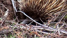 Australia, kangaroo island, excursion in the outback, close up view of a shy echidna stock video footage