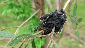 Australia, kangaroo island, excursion in the outback, view of a cluster of processionary caterpillars. Wrapped on the branch of a plant, close up view stock video
