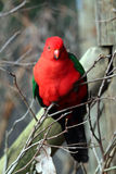 Australia king parrot. Male australia king parrot Royalty Free Stock Photography
