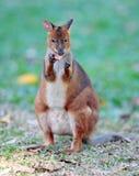 australia knecked Queensland czerwieni wallaby obraz stock