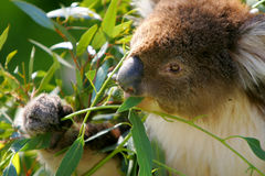 Australia Koala Royalty Free Stock Photography