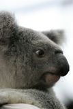 australia koala Obrazy Royalty Free