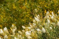 Australia Krzak kwitnie flora szczegół zdjęcia stock