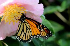 Australia monarch butterfly. A pretty butterfly resting on a flower stock photos