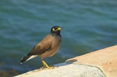 Australia, Zoology. Australia, Myna bird aka common myna Stock Photos