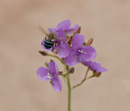 Australia native bee on Australian wildflower Murdannia graminea Royalty Free Stock Images