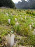 Australia: native bush regeneration tree planting. Native bush regeneration land care site with new trees in Katoomba, Blue Mountains, New South Wales, Australia Stock Photo