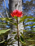 Australia: native waratah flower Royalty Free Stock Image