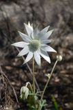 Australia: native white flannel flower. Australian native white flannel flower Actinotus helianthi in burnt bushland Blue Mountains NSW Royalty Free Stock Photography