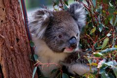 australia niedźwiedzia koali zdjęcie Zdjęcia Stock