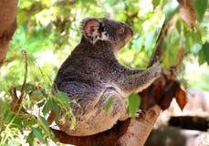 australia niedźwiedzia koali zdjęcie Obrazy Stock