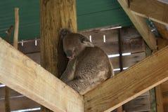 australia niedźwiedzia koali zdjęcie Fotografia Stock