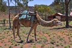 Australia_Northern疆土,骆驼农场 库存图片