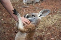 Australia - Ayers Rock - Human hand stroking kangaroo Stock Image