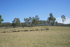 Australia Outback Cattle Herd Crossing Grassland Royalty Free Stock Photo