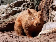 Australia, outback, a wombat. A wombat is hidden from our sight royalty free stock photo