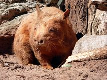 Australia, outback, a wombat. A wombat is hidden from our sight royalty free stock photography