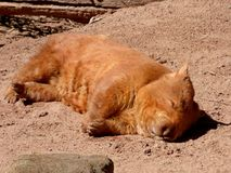 Australia, outback, a wombat Stock Image
