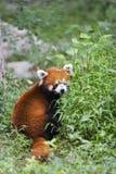 Australia   panda Stock Images