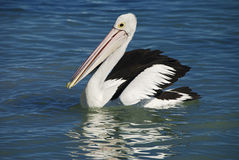 Australia Pelican Stock Photography