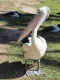 Australia Pelican Stock Photo