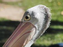 Australia Pelican Stock Image