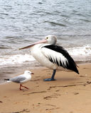 Australia Pelican & Sea Gull. Pelican and Sea Gull, sheltering on Patonga Beach, New South Wales, Australia Stock Photography