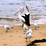 Australia Pelicans. Pelicans and Sea Gulls, sheltering on Patonga Beach, New South Wales, Australia Stock Photo