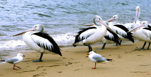 Australia Pelicans. Pelicans and Sea Gulls, sheltering on Patonga Beach, New South Wales, Australia Royalty Free Stock Photography