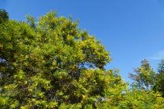 Australia plants - early black wattle Stock Photography