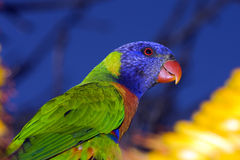 Australia Rainbow Lorikeet Parrot. The Rainbow Lorikeet is a brightly coloured parrot. Flies fast with rapid wing beats. Lorikeets are often seen in large flocks Stock Photo