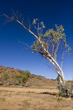 Australia Red Centre. Tree in Australian Red Centre Stock Photography