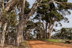 Australia red road in eucalyptus forest Royalty Free Stock Image