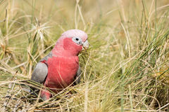 Australia red and white parrot cacatua portrait Royalty Free Stock Photography