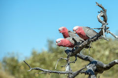 Australia red and white parrot cacatua portrait Stock Photo