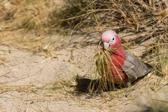 Australia red and white parrot cacatua portrait Royalty Free Stock Photo