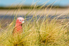 Australia red and white parrot cacatua portrait Royalty Free Stock Images