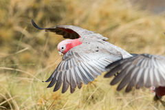 Australia red and white parrot cacatua portrait Stock Photography