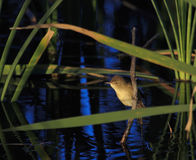 Australia Reed Warbler Royalty Free Stock Photography